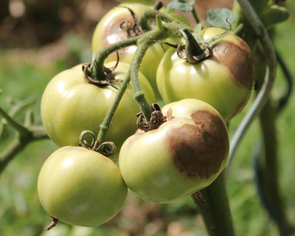tomates touchées par le mildiou